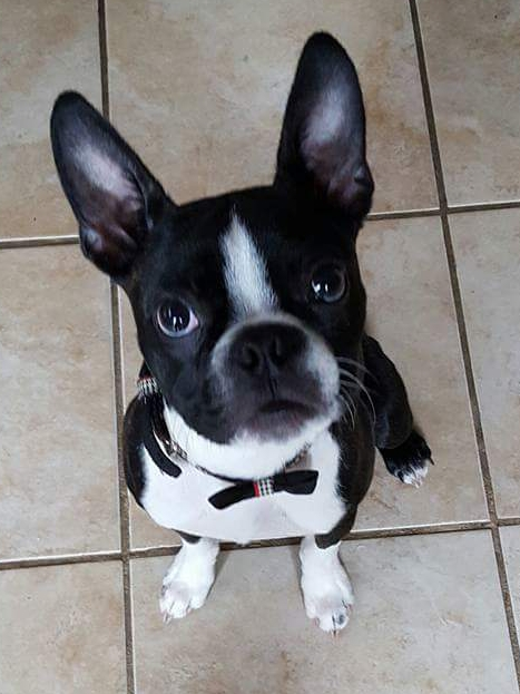 You Know You Have a Boston Terrier When…